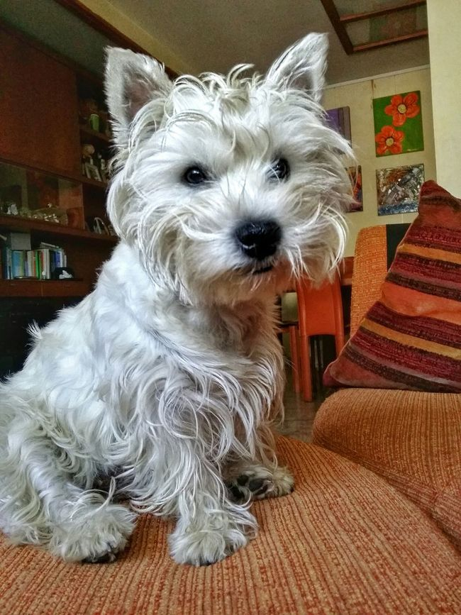 'Morning from Mapi Westigram Westie Westhighlandwhiteterrier HDR Selfportrait