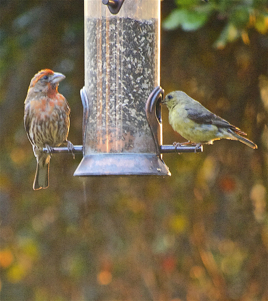 bird, animal themes, animals in the wild, bird feeder, perching, focus on foreground, animal wildlife, no people, day, outdoors, nature, close-up, sparrow, food