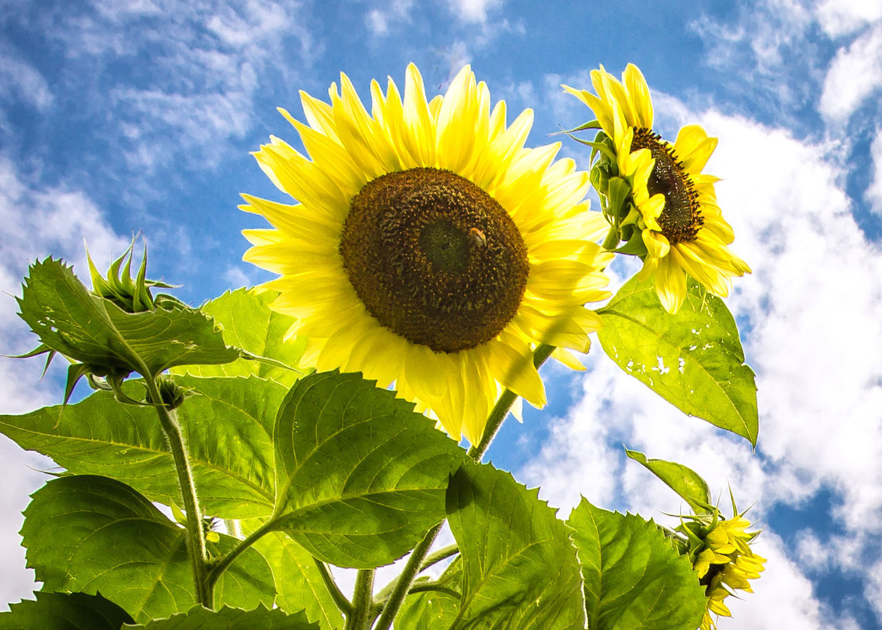 Beauty In Nature Blossom Botany Close-up Cloud Flower Flower Head Fragility Freshness Growth In Bloom Leaf Low Angle View Nature Petal Plant Pollen Season  Single Flower Sky Springtime Stem Sunflower Vibrant Color Yellow