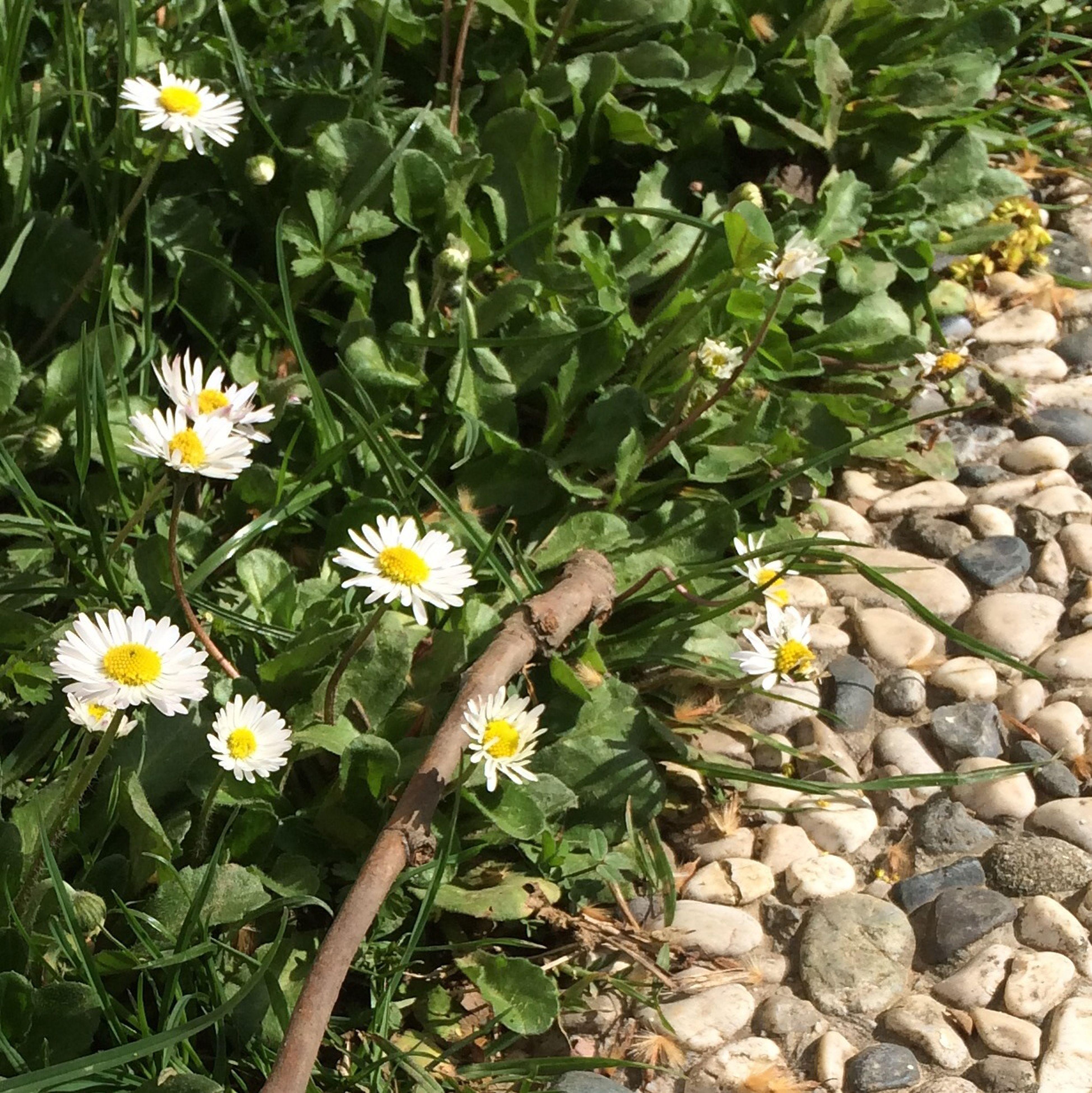 Flowers Garden Daisy Spring papatya sarhoşluğu...