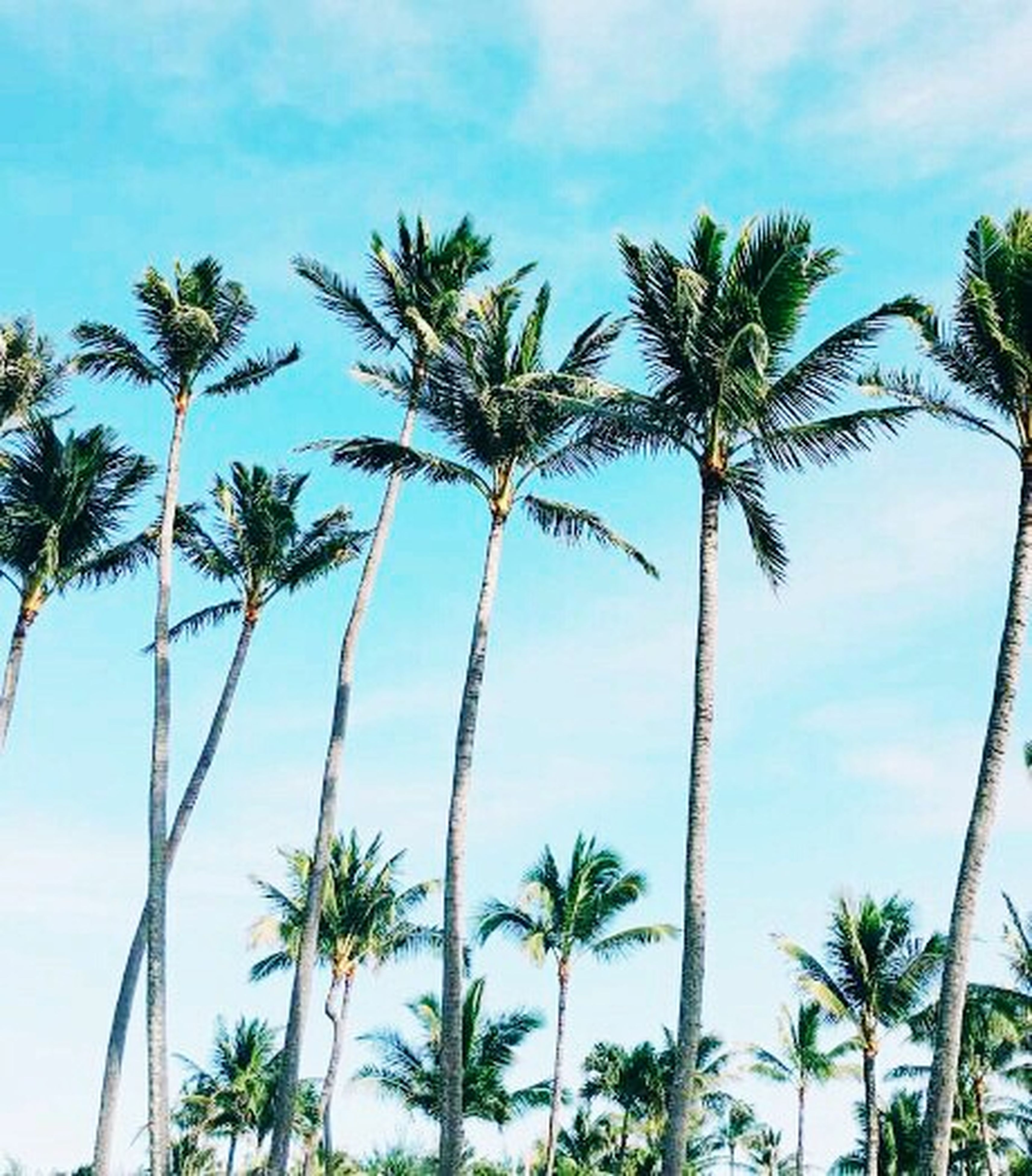 palm tree, tree, low angle view, sky, growth, coconut palm tree, tree trunk, cloud - sky, nature, cloud, blue, tranquility, beauty in nature, palm leaf, palm frond, tropical tree, tropical climate, tall - high, day, scenics