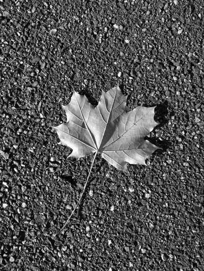Leaf Autumn Change Day High Angle View Outdoors Nature Maple Fragility Close-up Maple Leaf No People Beauty In Nature Shootermag_france Minimalism TheMinimals (less Edit Juxt Photography) Blackandwhite Black And White Shootermag Black & White Nature