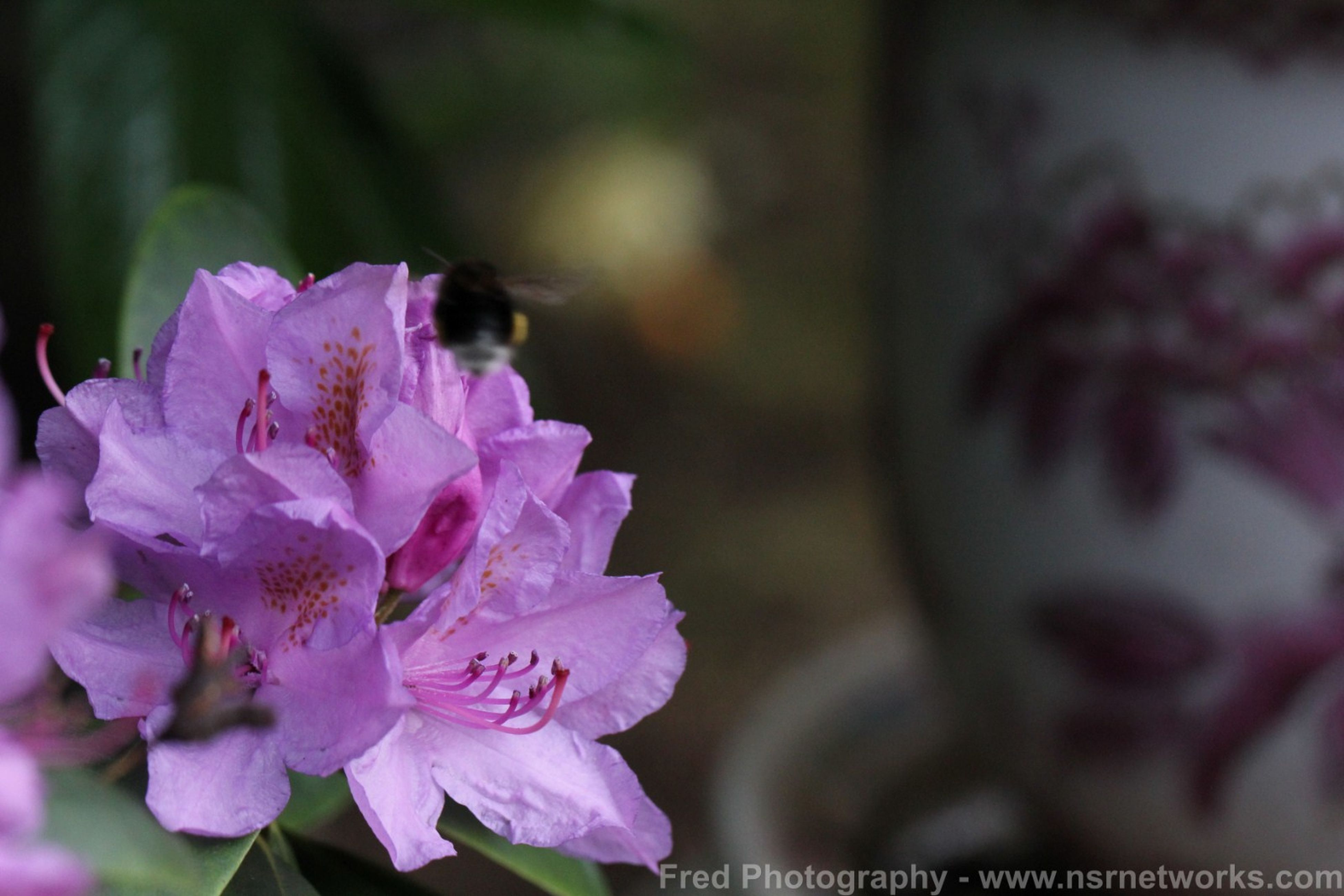 flower, petal, freshness, fragility, flower head, close-up, beauty in nature, growth, focus on foreground, blooming, nature, pink color, in bloom, drop, purple, stamen, plant, blossom, wet, selective focus