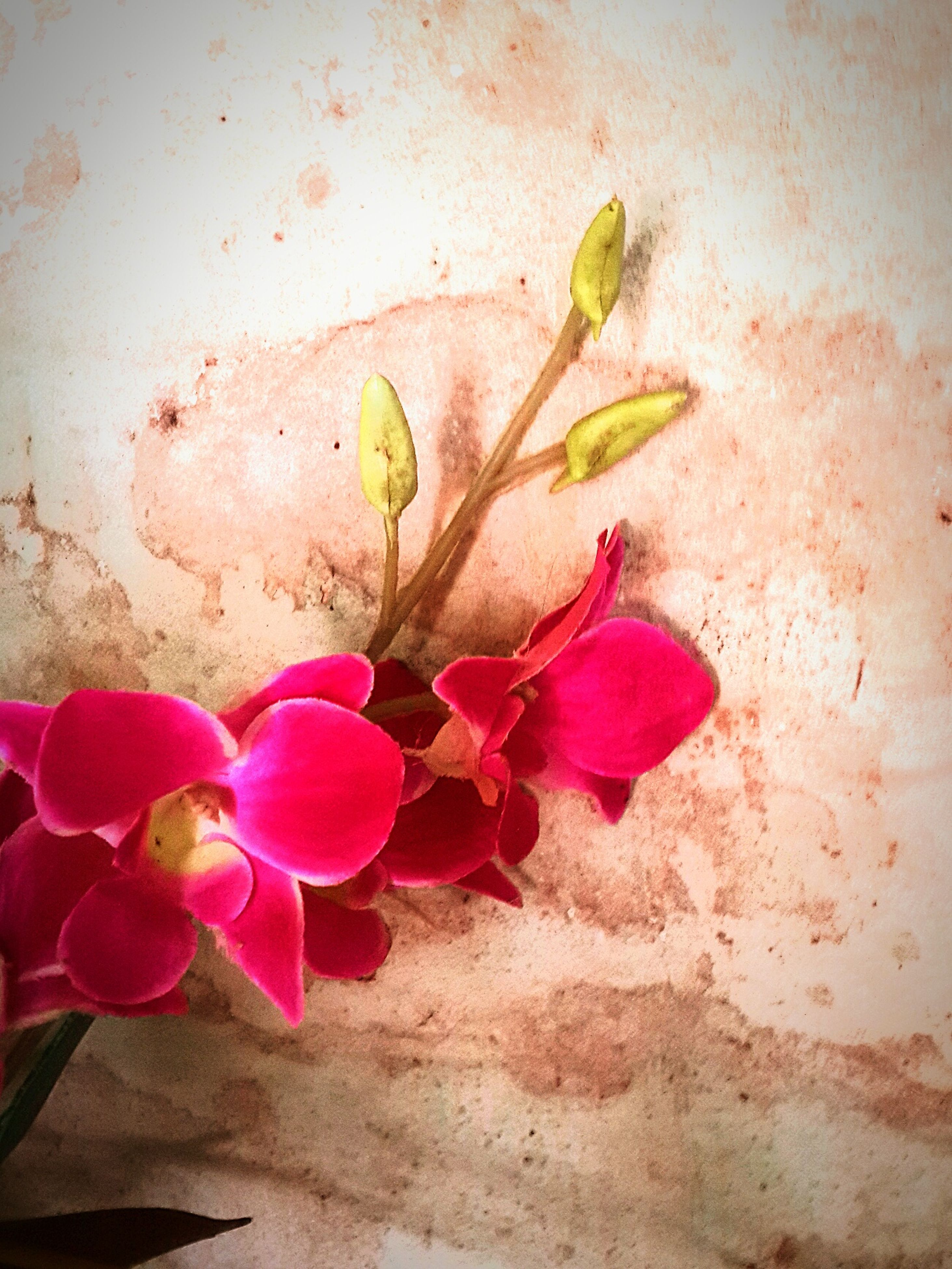 flower, petal, fragility, freshness, flower head, pink color, growth, plant, nature, beauty in nature, close-up, leaf, wall - building feature, high angle view, blooming, stem, no people, in bloom, day, blossom