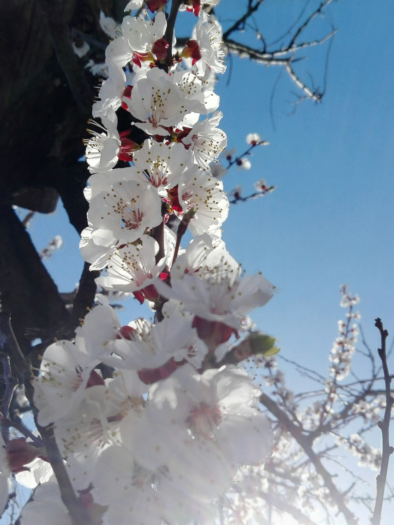 Tree Sunlight Springtime Nature Blossom Low Angle View Branch Flower No People Sky Outdoors Close-up Flower Head Apricot Tree Blossomed Apricot Blossoms Edited By @wolfzuachis On Market Wolfzuachiv Huaweiphotography Eyeem Market Showcase: 2017 @WOLFZUACHiV Veronica Ionita Showcase: March Wolfzuachis EyeEmNewHere