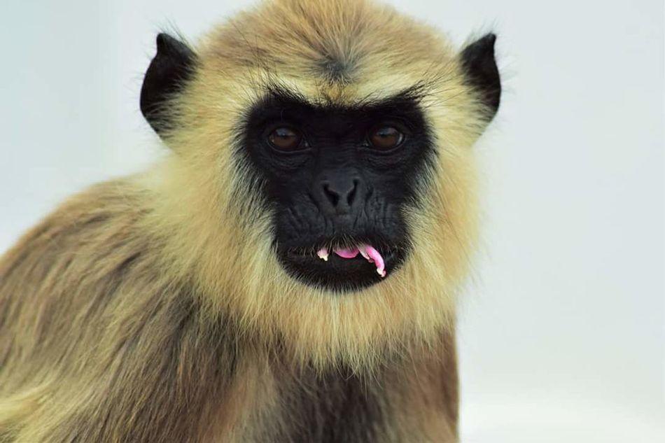 One Animal Wildlife Focus On Foreground White Background Mammal Studio Shot Monkey Langur Zoology SriLanka Nature Macaque