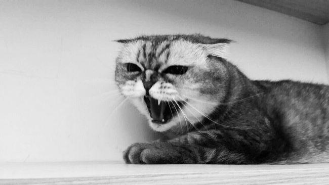 貓?石虎? Cat Cats Cat♡ Catsofinstagram Blackandwhite Black And White Black & White Blackandwhite Photography 石虎 Catportrait