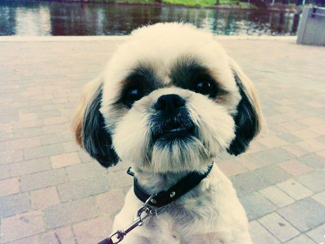 Dog Pet Animals Niuniuś Shitzu River Hi! Walk Bydgoszcz Polska Sweety  Quadruped Brda Water Happydog