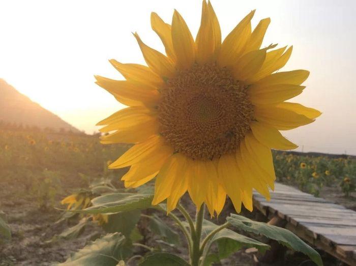 向阳盛开,太阳去哪,花儿也紧紧跟随。
