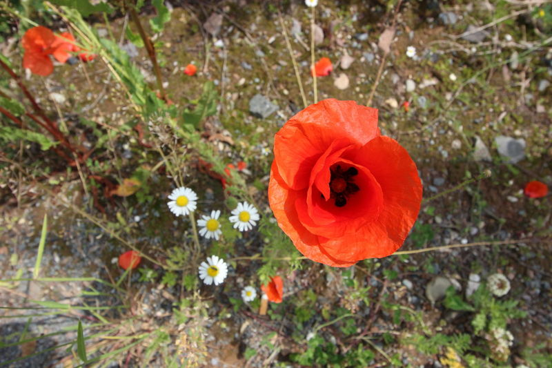 Flower Power @ Germany Beauty In Nature Blooming Close-up Day Field Flower Flower Head Flower Power Flower Power🌼 Fragility Freshness Growth Nature No People Outdoors Petal Plant Poppy Red Springtime Uncultivated