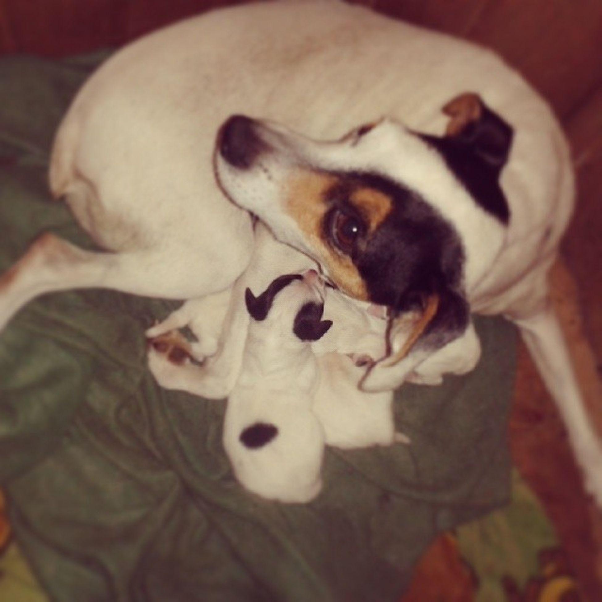Pipines Cachorros Puppies Foxterrier  bigfamily