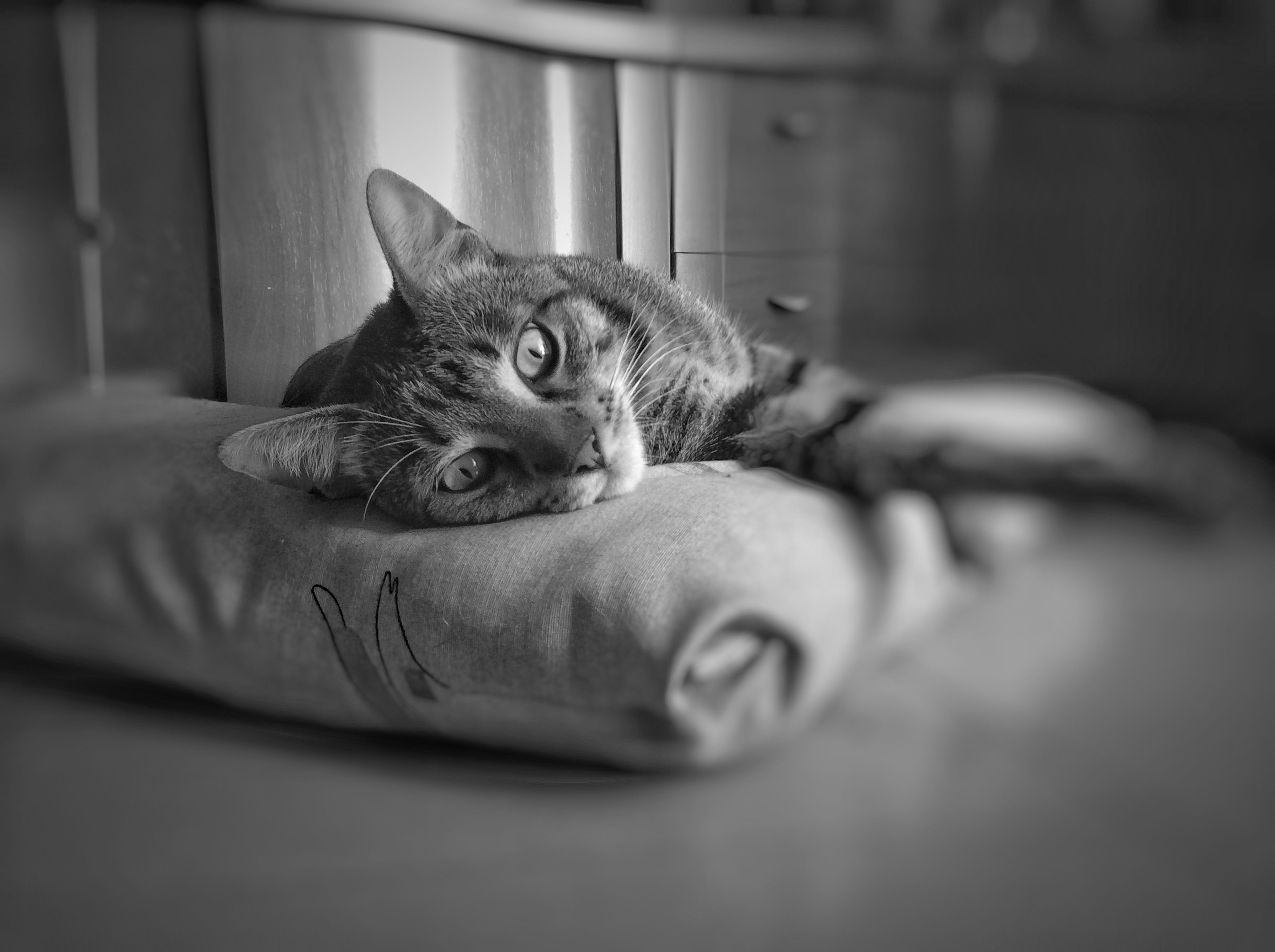 pets, domestic cat, domestic animals, cat, one animal, mammal, animal themes, feline, indoors, whisker, relaxation, portrait, looking at camera, kitten, home interior, selective focus, lying down, cute, close-up, focus on foreground