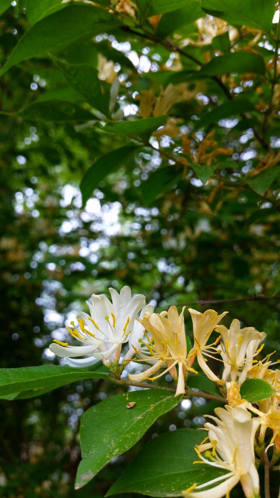 Japanese Honeysuckle Honeysuckle Ohio, USA