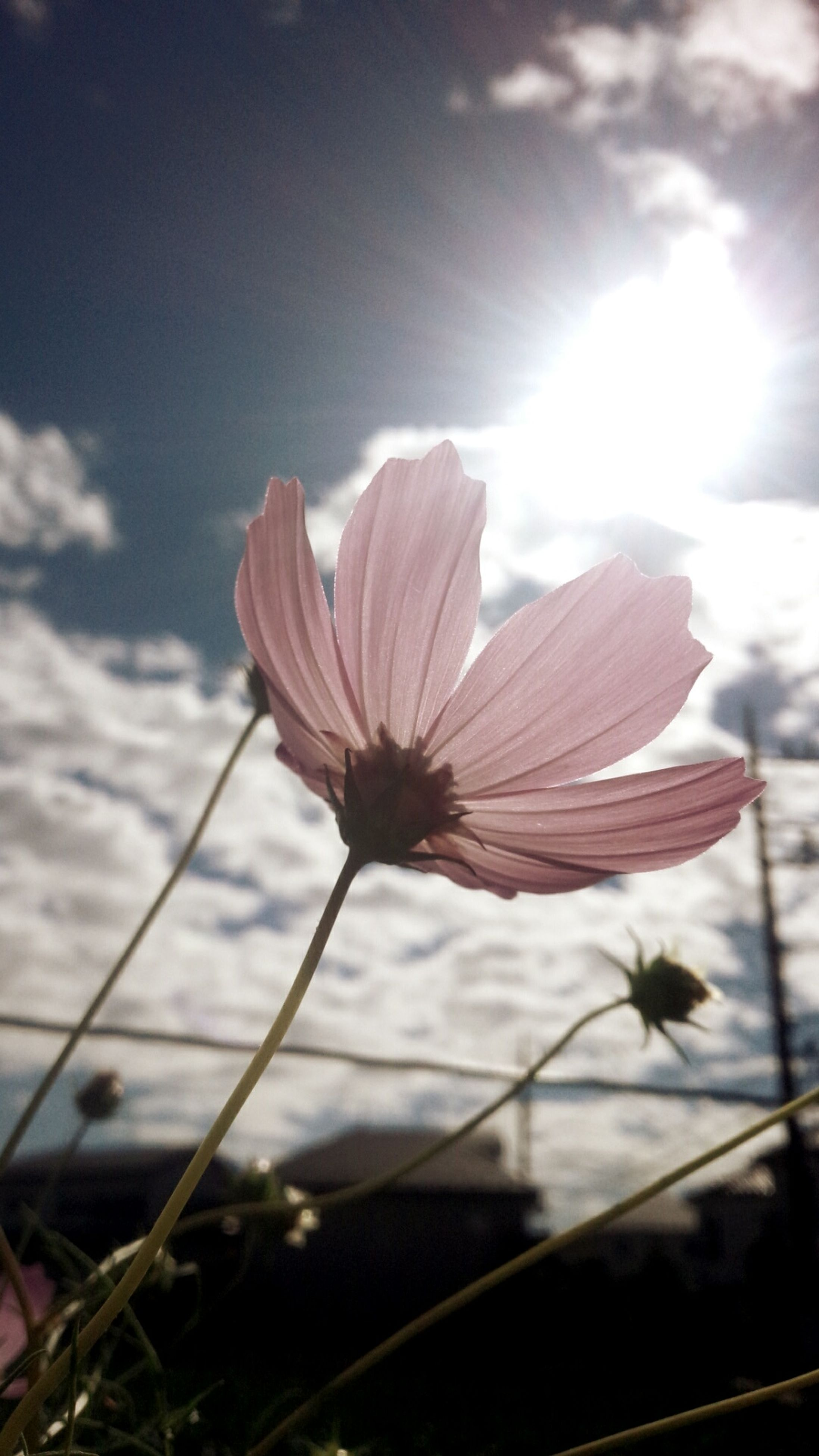 sun, fragility, flower, sky, focus on foreground, close-up, sunlight, beauty in nature, stem, nature, sunbeam, growth, petal, plant, freshness, lens flare, flower head, sunset, no people, outdoors