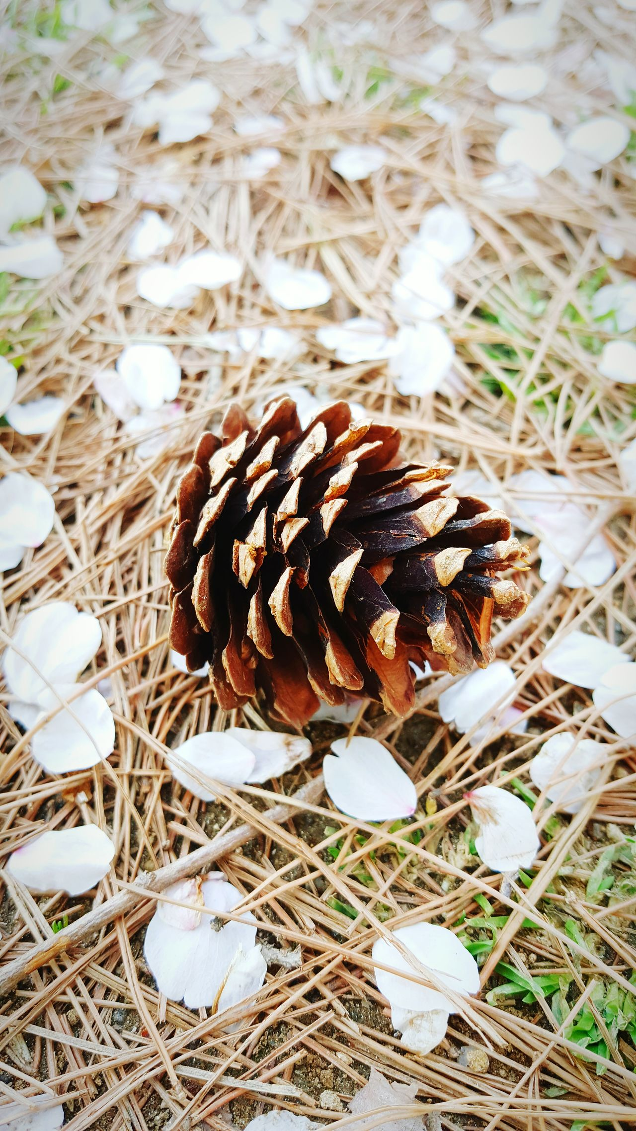 Nature No People Day Outdoors Close-up Beauty In Nature A Pine Cone