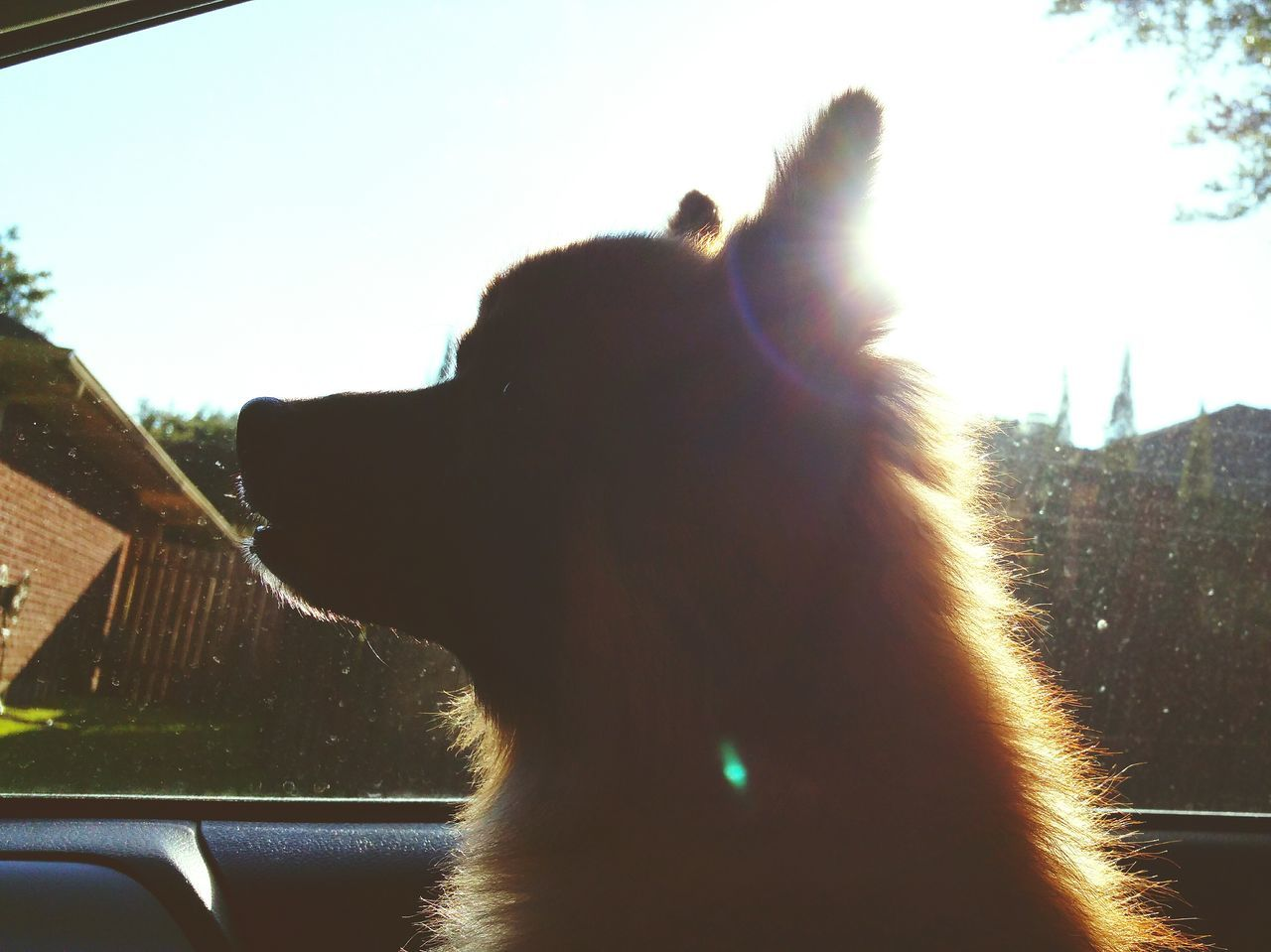 The golden hour. ☉🐶 Mo And Bruno My Boy Mo Little Mo Mo Monster Out For A Ride Pomeranian-Chihuahua Pomeranian Mix Mutt Forever A Puppy Puppy At Heart My Baby Has Four Paws Dog Doggy Doggy Love My Dog Loves Car Rides Looking Out The Window Through The Looking Glass My Four Legged Child Family