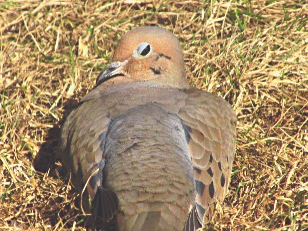 Mourning Dove Dove Birds Bird Photography Blink Wink Sleepy Wildlife Hello World Window View Relaxing Nature On Your Doorstep Wildlife & Nature
