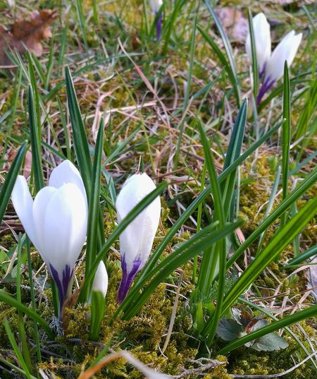 Grass Nature Flower Beauty In Nature Springtime White Color White Flowers Crocuses Crocuses Spring