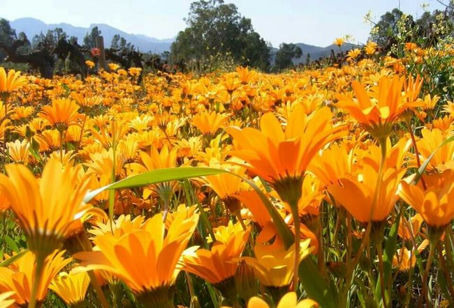 No Filter No Edit No Photoshop Flowers Orange Flowers Blue Sky Up Close EyeEm Flower Valley Beautiful Nature