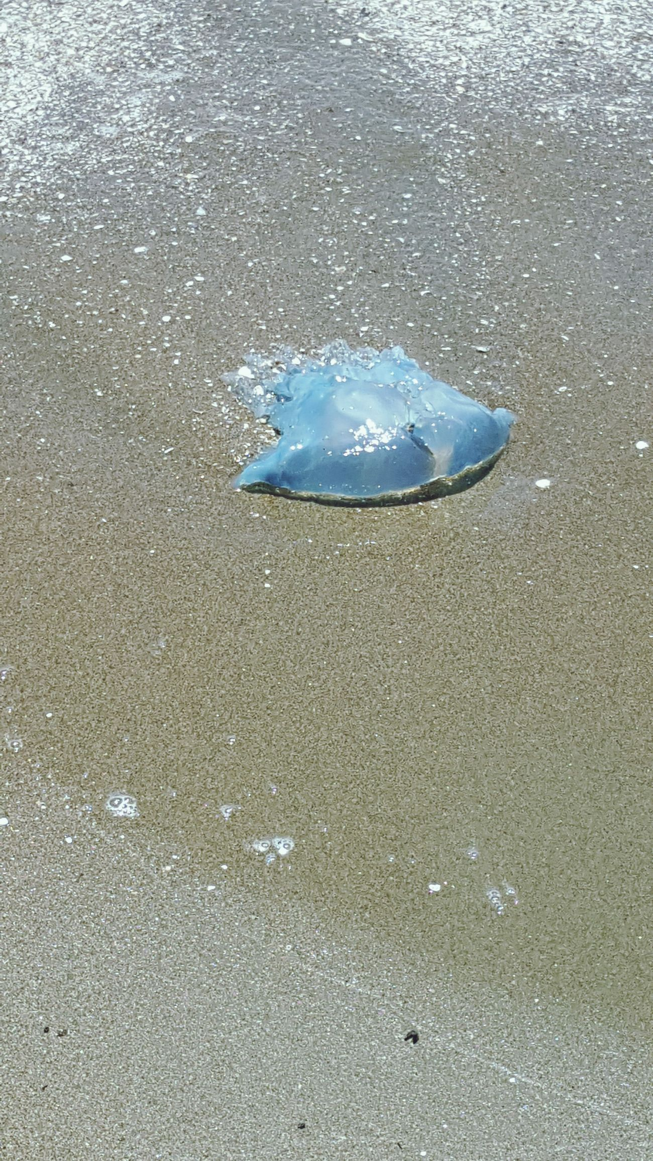 I saw thia jellyfish at the beach today. I thought it was a plastic bag lol. Jellyfish Blue Bluebottle Jellyfish Sea Nature Water