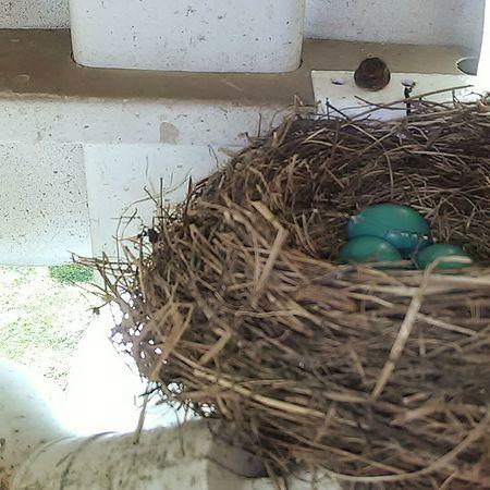 Bird Birds Of EyeEm  Bird Photography Egg Robin Spring Springtime Baby Babies Birdeggs Lifephotography Nature Photography Nature Nature_collection Life Showcase: April Showcase April