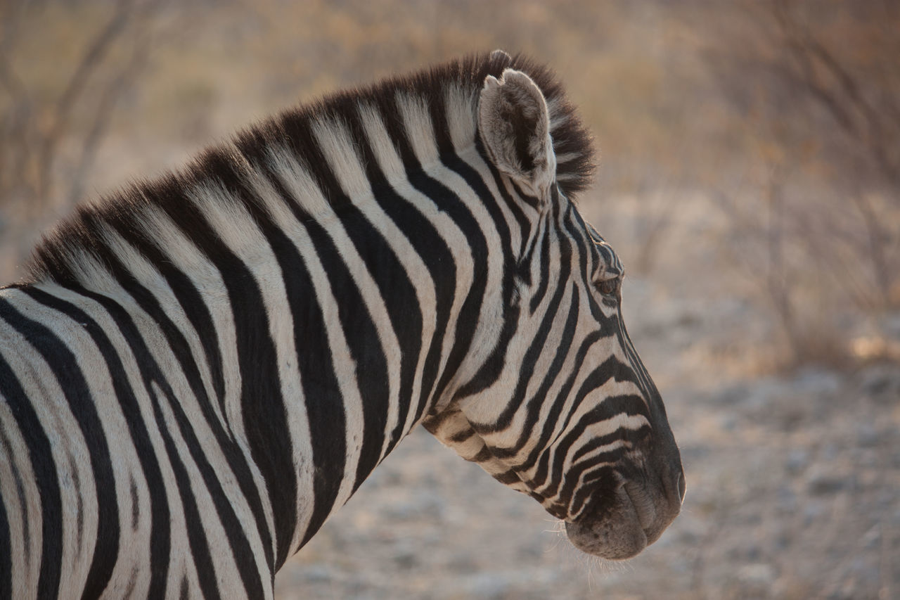 Beautiful stock photos of zebra, Animal Head, Animal In The Wild, Arid Climate, Beauty In Nature
