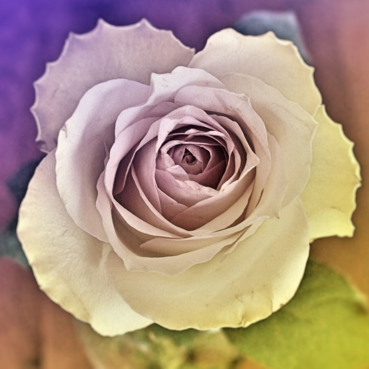 flower, petal, nature, beauty in nature, growth, rose - flower, blossoming, flower head, softness, love, plant, flora, fragility, beauty, freshness, no people, blooming, soft focus, friendship, close-up, outdoors