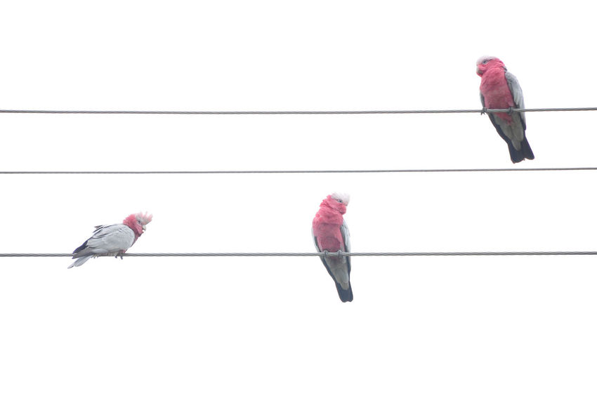 Bird Birds Birds_collection Clear Sky Cockatoo Day Low Angle View No People Outdoors Parakeets Perching Sky Togetherness Wire Wires Wires And Cables Wires And Sky EyeEmNewHere Connected By Travel