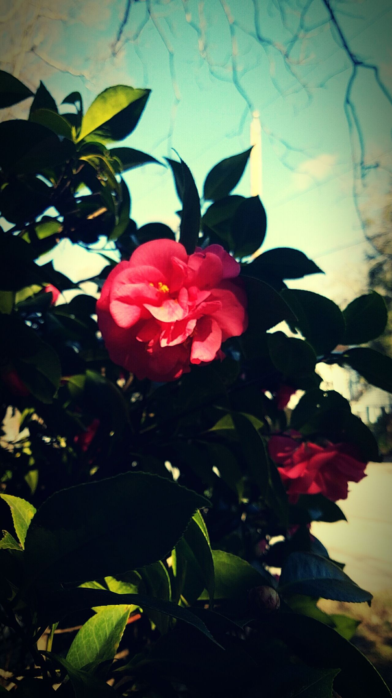 Flower Camellia Beauty In Nature Outdoors Spring