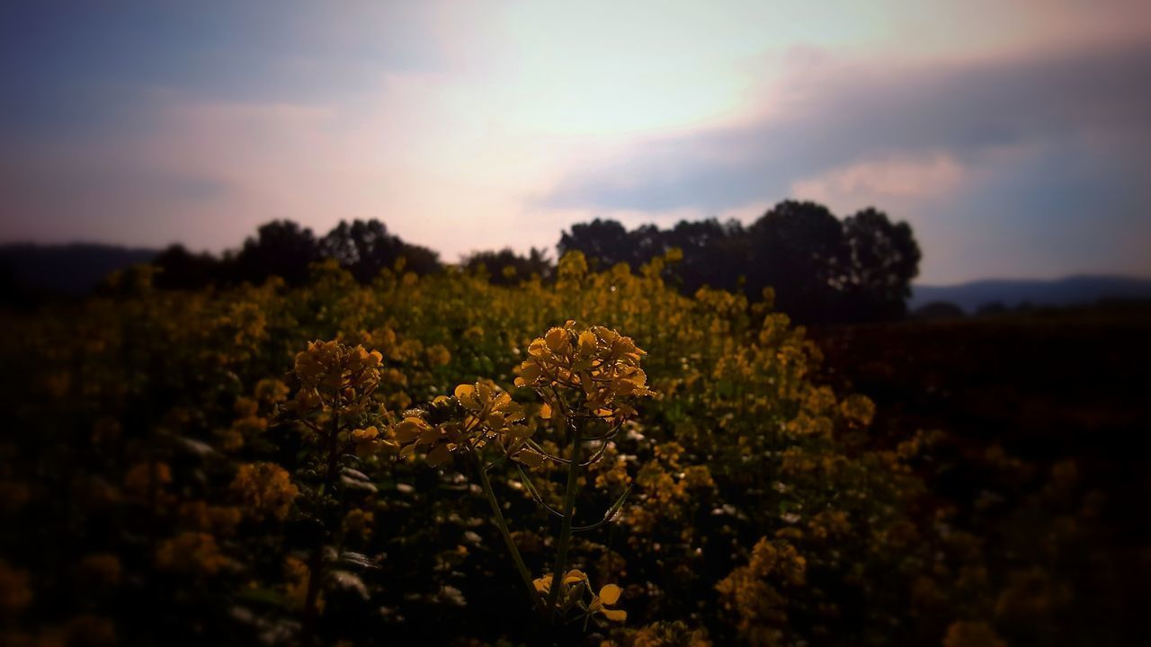 Agriculture Beauty In Nature Day Field Flower Freshness Growth Nature No People Outdoors Plant Scenics Sky Tranquility Tree Yellow
