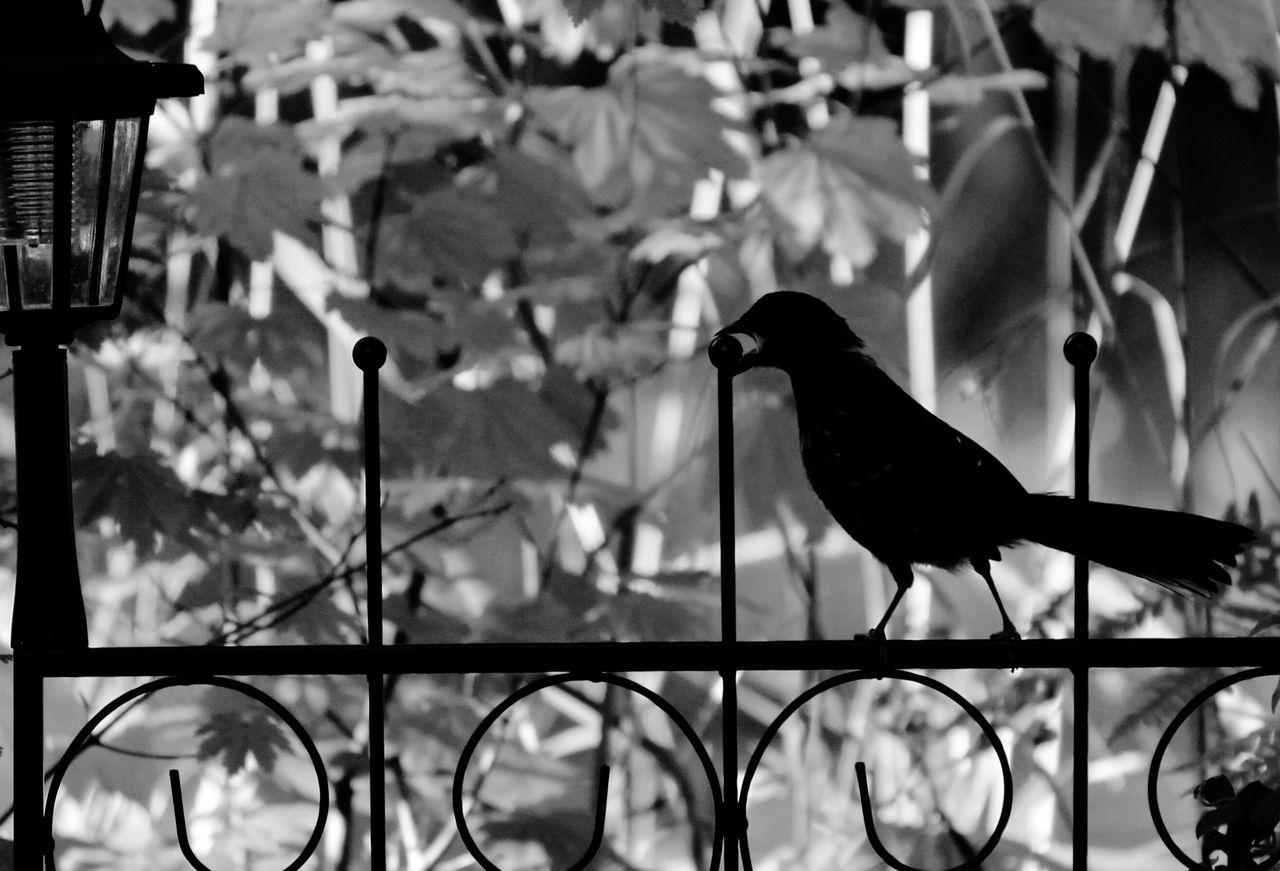 bird, animals in the wild, animal themes, focus on foreground, no people, perching, animal wildlife, day, outdoors, nature, close-up