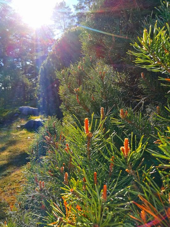 Pine Tree Beauty In Nature Sunlight Close-up Nature My Park🌲🏞🏡🌾👍