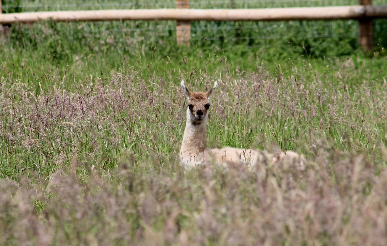 Baby Amber lying in meadow grasses Cute Animals Hello World Relaxing Llama