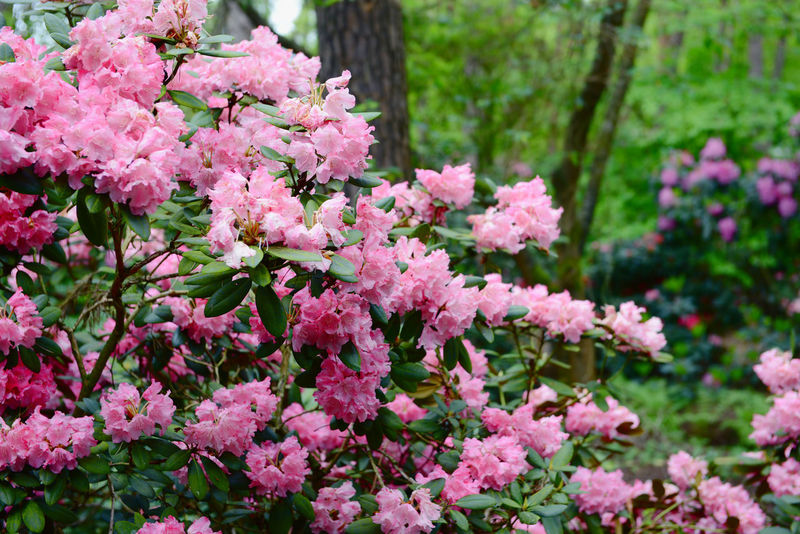 pink rhododendron in a park Blooming Flower Plant Purple Garden Pink Color Botany Rhododendrons Rhododendroninbloom Rhododendronblossoms Rhododendron Rhododendroninfullbloom Green Color Growing Park Flower Head Growth Blossom Green