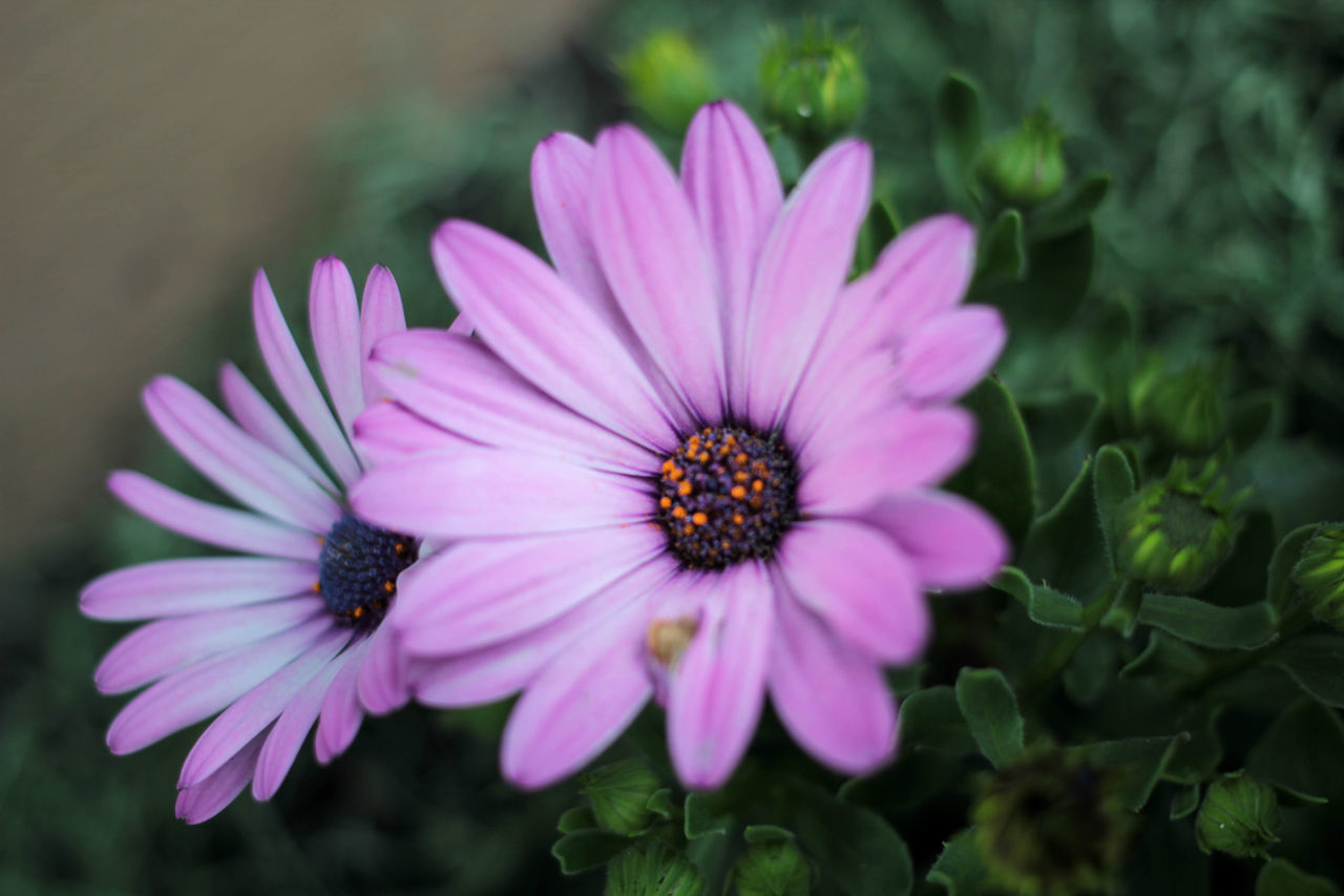 Beauty In Nature Blooming Blossom Close-up Day Flower Flower Head Focus On Foreground Fragility Freshness Growth In Bloom Lavender Nature No People Outdoors Petal Pink Color Plant Pollen Purple Selective Focus Softness Stamen Tranquility