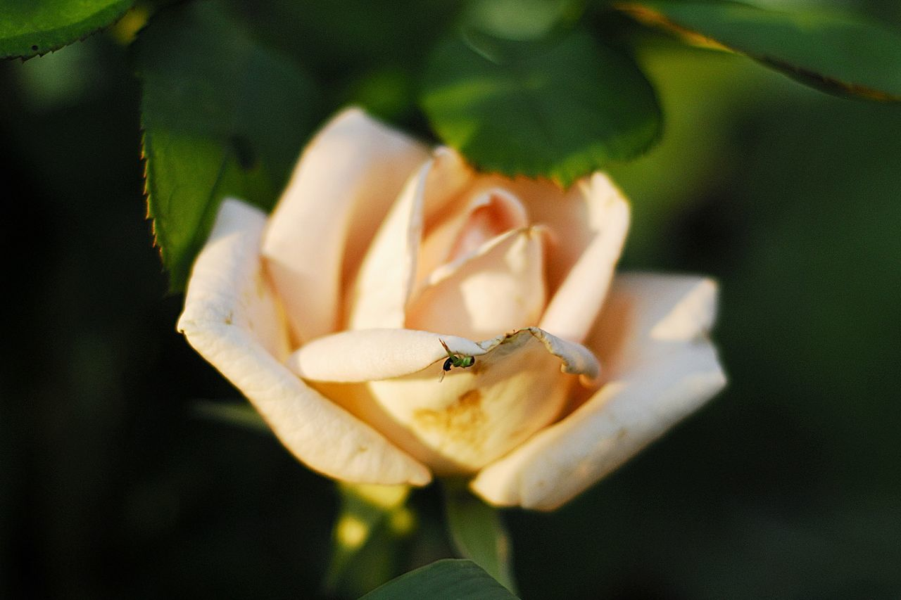Rose🌹 Spider Flowers роза паучок Природа Nikon Nature Summer2015 Beautiful