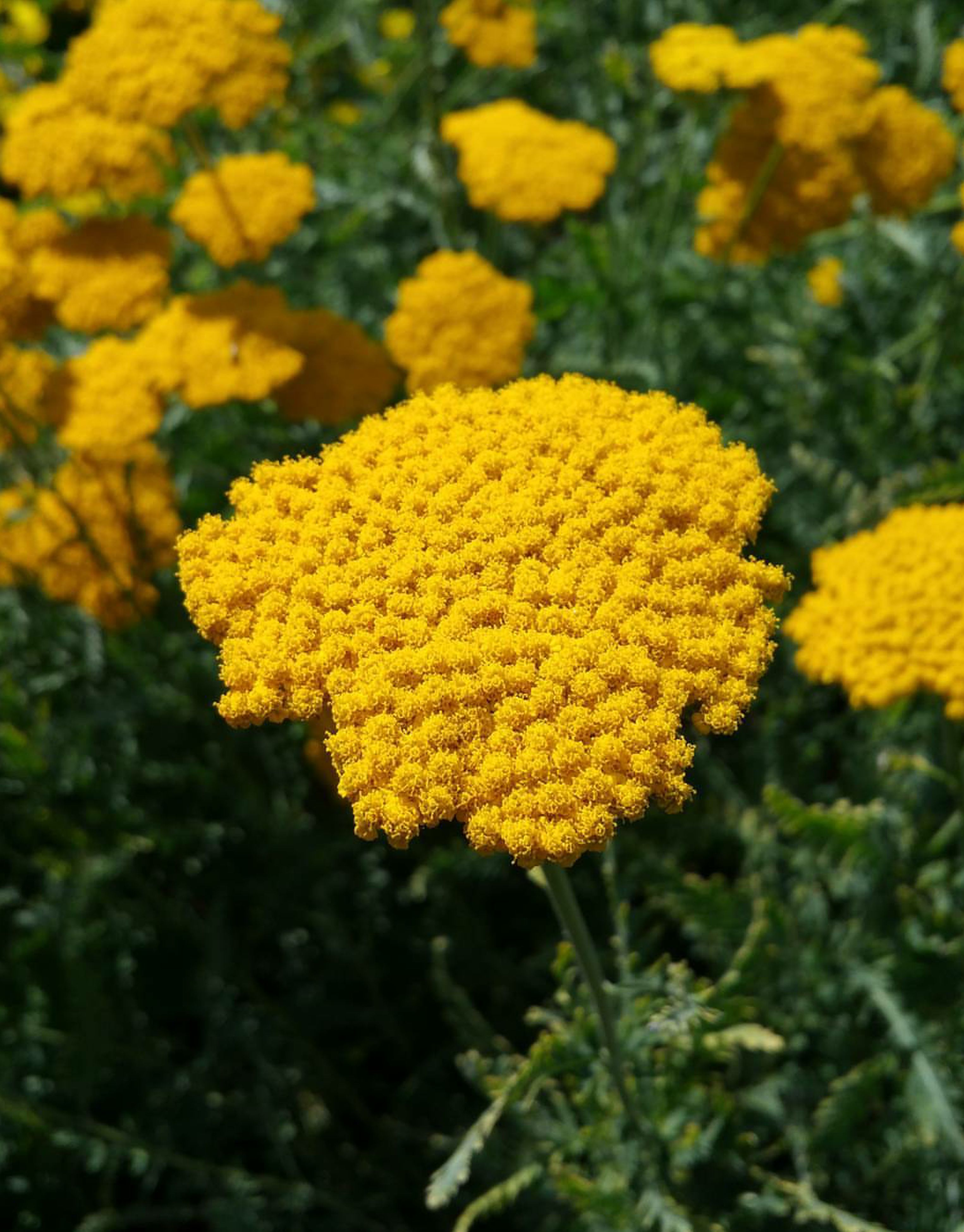 yellow, flower, growth, fragility, freshness, beauty in nature, nature, plant, day, outdoors, close-up, no people, flower head, marigold, blooming
