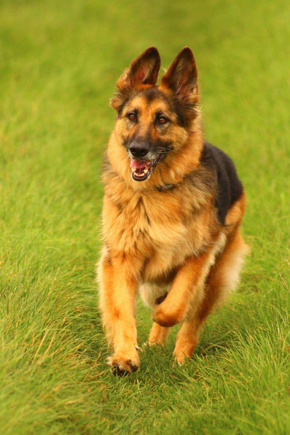 Beautiful stock photos of german shepherd, Animal Themes, Day, Domestic Animals, Field