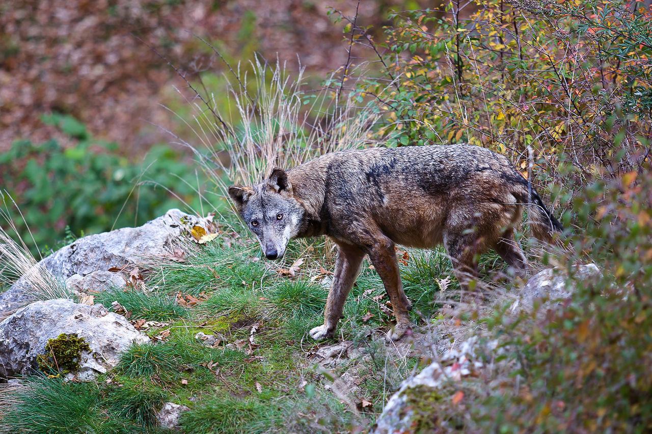 Beautiful stock photos of coyote,  Animal Wildlife,  Animals In The Wild,  Canine,  Civitella Alfedena