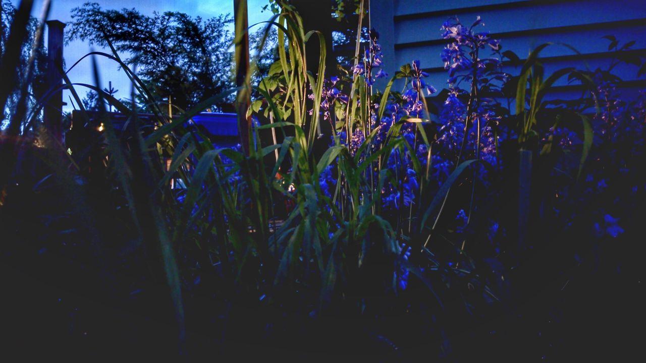 Purple twilight The Purist (no Edit, No Filter) Purple Flowers Grass Nightphotography Darkness And Light Twilight Long Exposure EyeEm Nature Lover First Eyeem Photo Lowlight April Showcase Springtime Spring Flowers Blue Wave My Favorite Photo