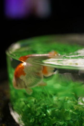 紅白 金魚 White And Red Goldfish Animal Themes Close-up One Animal Swimming Goldfish In Water Fish Tank Mistake Shot Out Of Focus But Beautiful Mistakes Are Beautiful Animal Photography Beautiful Moment Taking Photos ピンボケ The Purist (no Edit, No Filter) EyeEm Best Shots アートアクアリウム城 アートアクアリウム Kyoto, Japan
