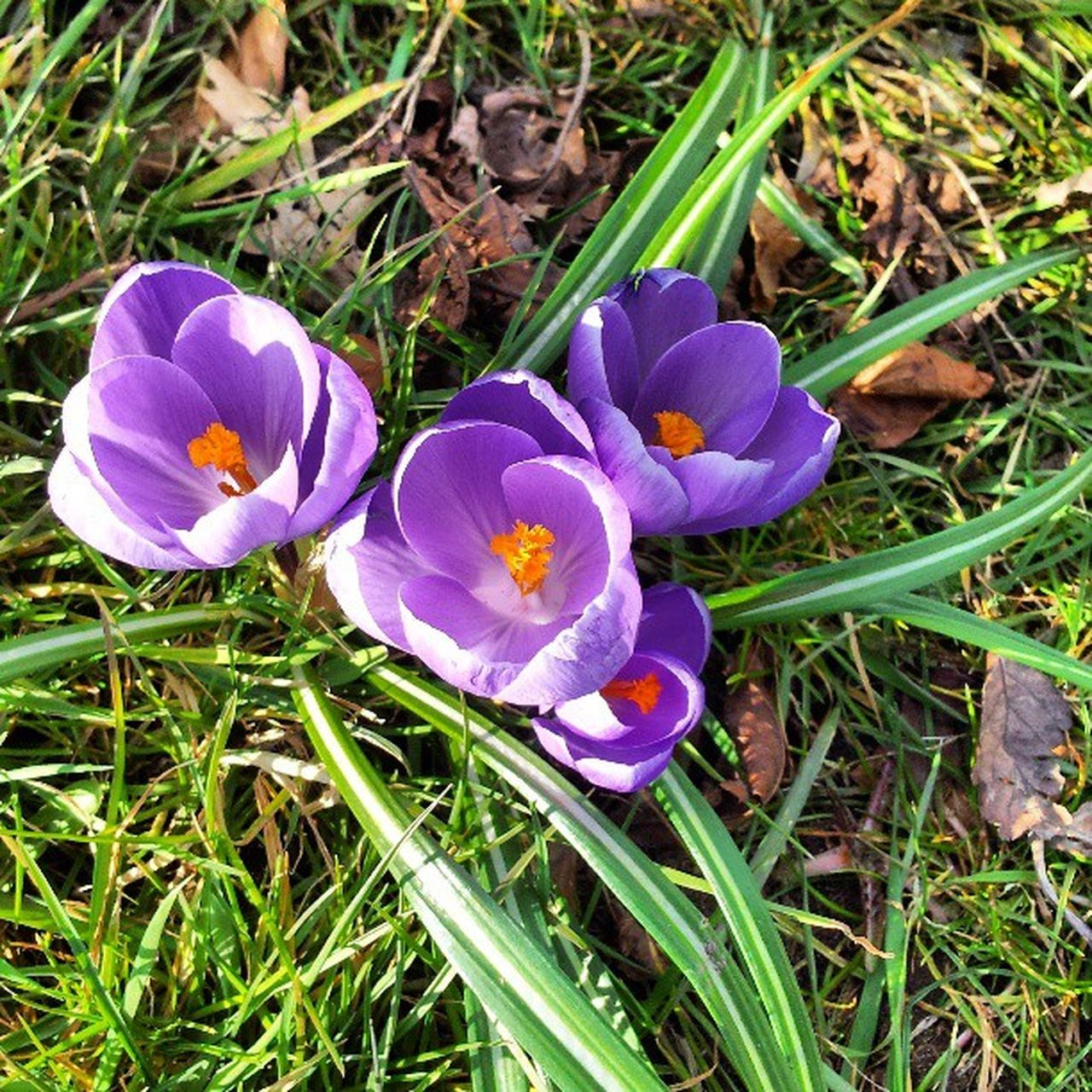 flower, growth, nature, petal, beauty in nature, fragility, field, freshness, flower head, grass, high angle view, outdoors, day, purple, plant, no people, green color, close-up, crocus, blooming
