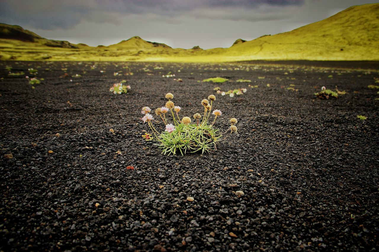 Flowers in the black lava | Lava Protecting Where We Play Volcanoes Iceland Memories Traveling Getting Inspired Landscape Colorsplash |