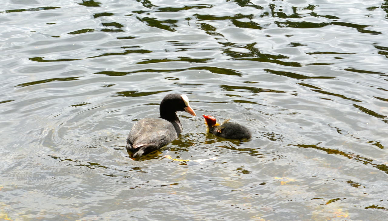 animal themes, animals in the wild, lake, swimming, bird, water, two animals, waterfront, young bird, nature, water bird, high angle view, animal wildlife, no people, day, young animal, togetherness, outdoors, swan, beak, black swan