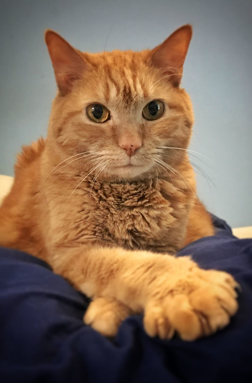 domestic cat, pets, feline, domestic animals, mammal, one animal, animal themes, cat, whisker, one person, sitting, real people, indoors, portrait, human hand, looking at camera, ginger cat, siamese cat, close-up, day
