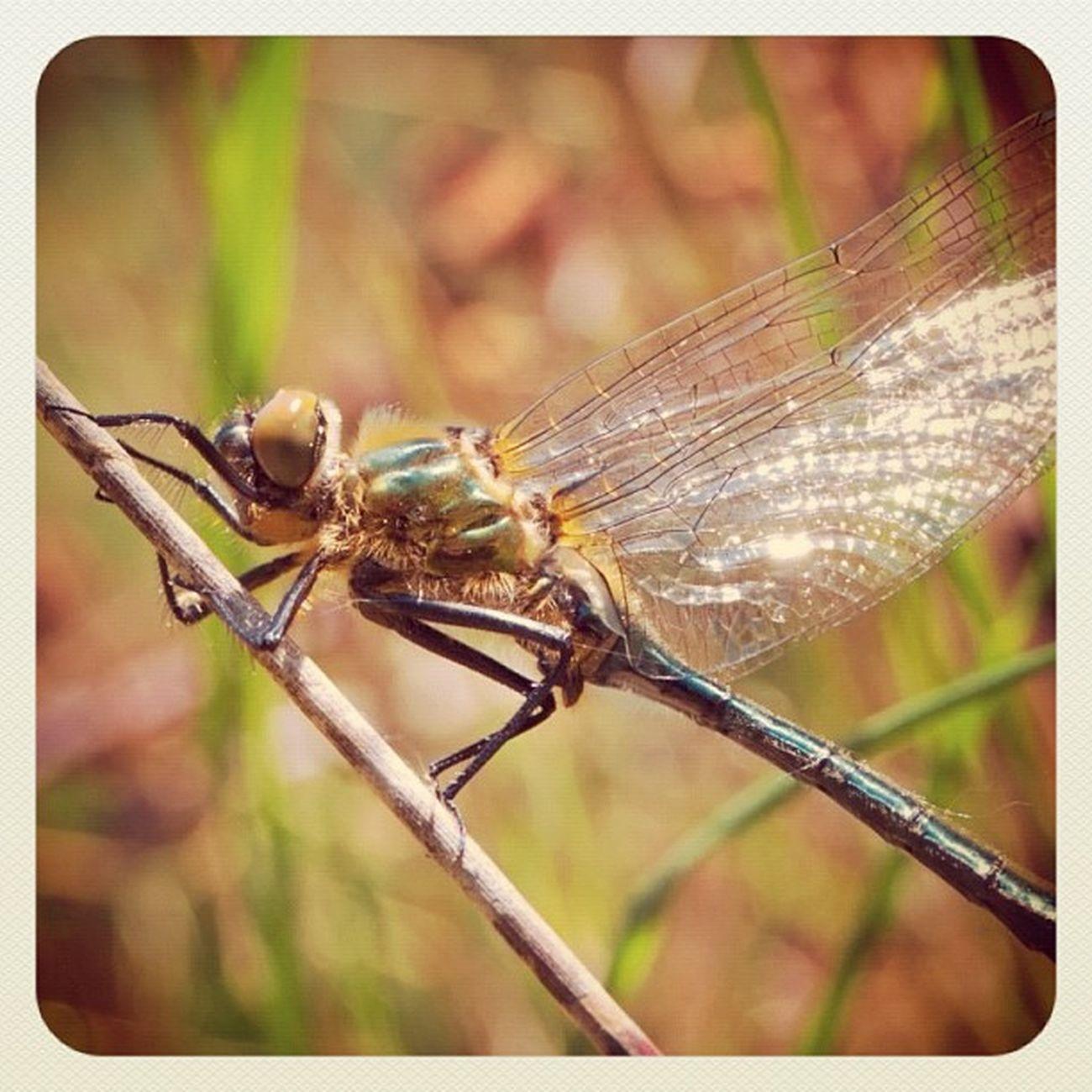 Dragonfly Dragonflies Libelle Libelula naarden naardermeer nature natureporn natureeza insect ig_naturelovers iphonesia bug abugslife