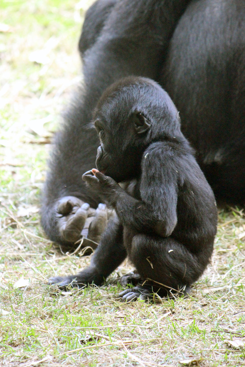 two animals, animal themes, animals in the wild, mammal, togetherness, animal wildlife, monkey, young animal, day, infant, field, animal family, outdoors, grass, nature, relaxation, sitting, close-up
