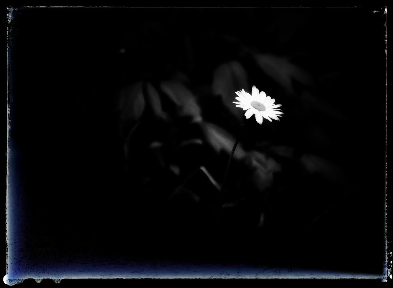 flower, petal, fragility, flower head, close-up, nature, freshness, growth, beauty in nature, night, one person, black background, outdoors, people