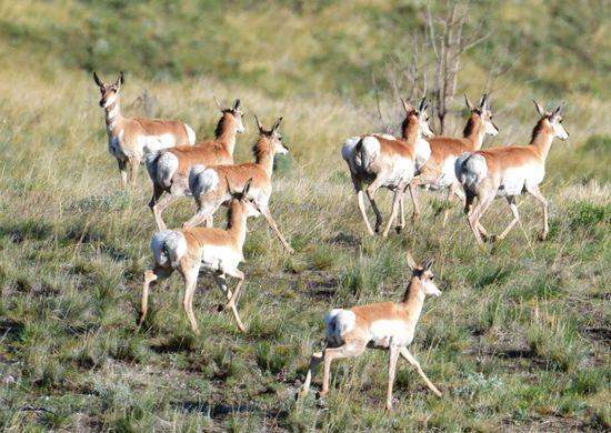 Antelope Antilocarpa Americana Flee Herd Herd Of Antelope Home On The Range Large Group Of Animals Pronghorn Pronghorn Antelope Rangeland Safari Animals This Week On Eyeem Western