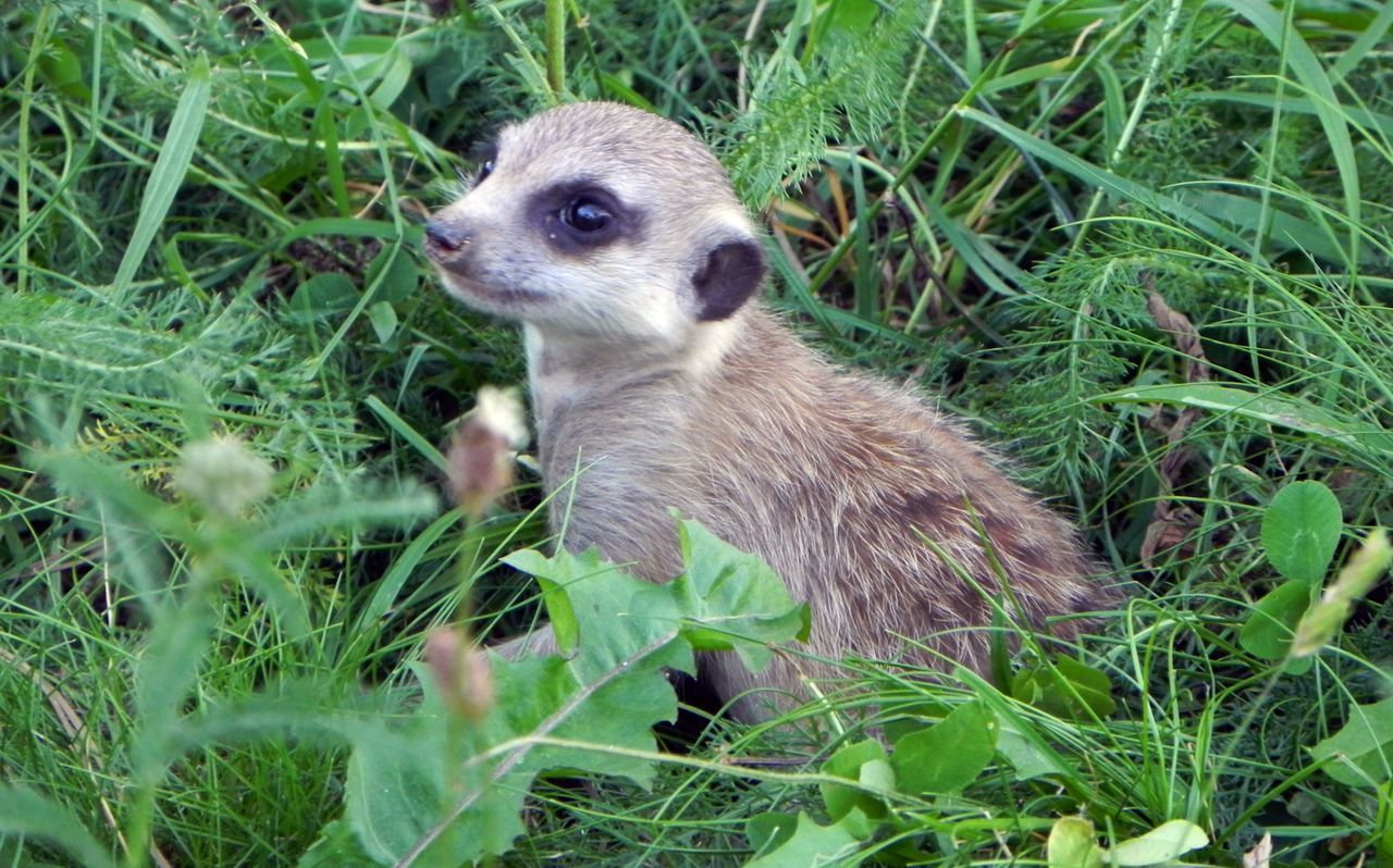 Animal Themes Close-up Grass Meerkat Nature No People One Animal Outdoors